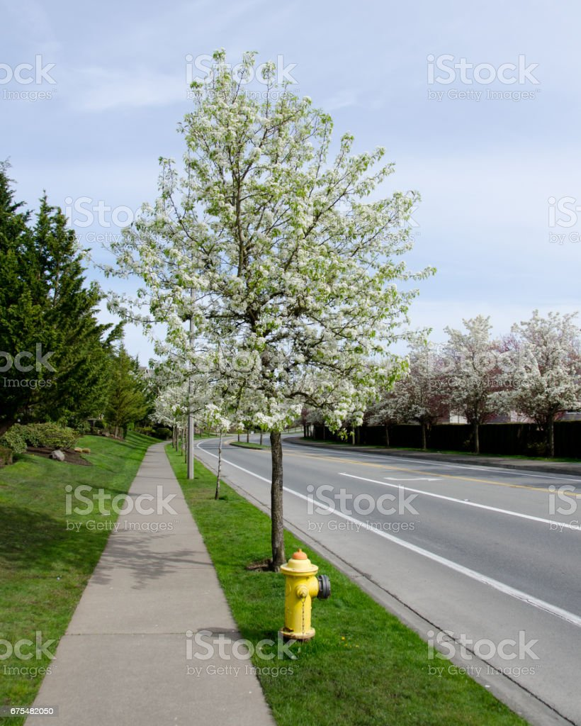 Chery bloom over fire hydrant on a residential street in Seattle suburub, Redmond, Seattle photo libre de droits