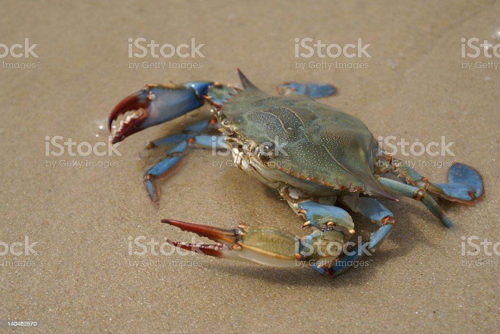 Chesapeake bay blue crab on sandy beach stock photo