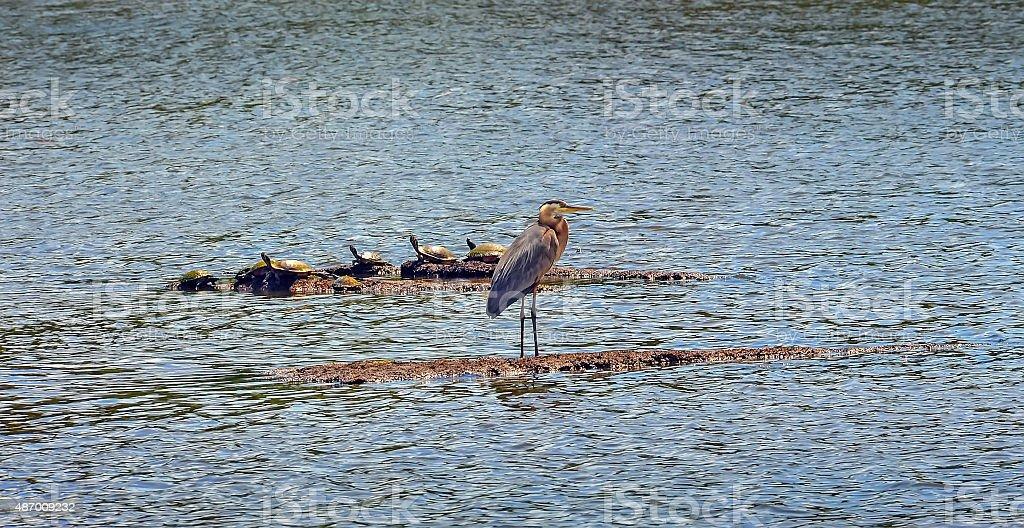 Chesapeake Bay Great Blue Heron with turtles stock photo