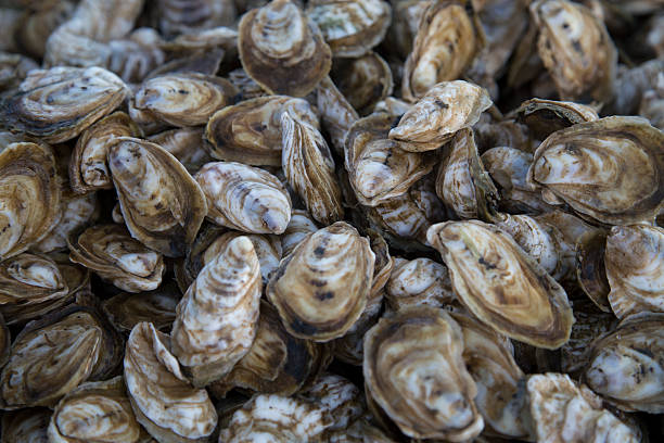 chesapeake bay oysters - aquaculture stock pictures, royalty-free photos & images