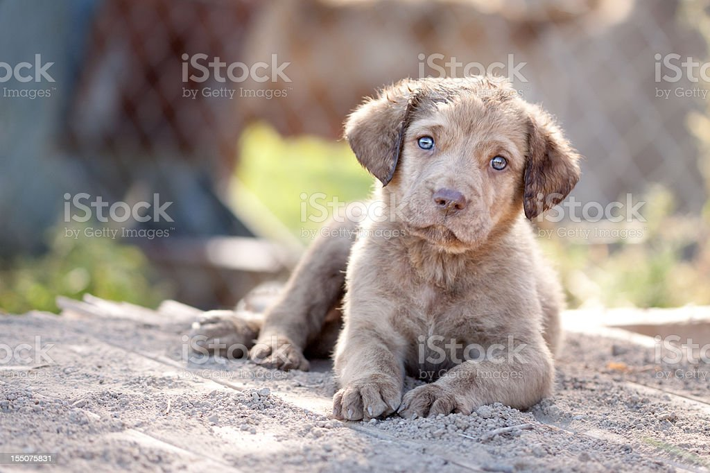 Chesapeake-Bay-Retriever Welpe – Foto