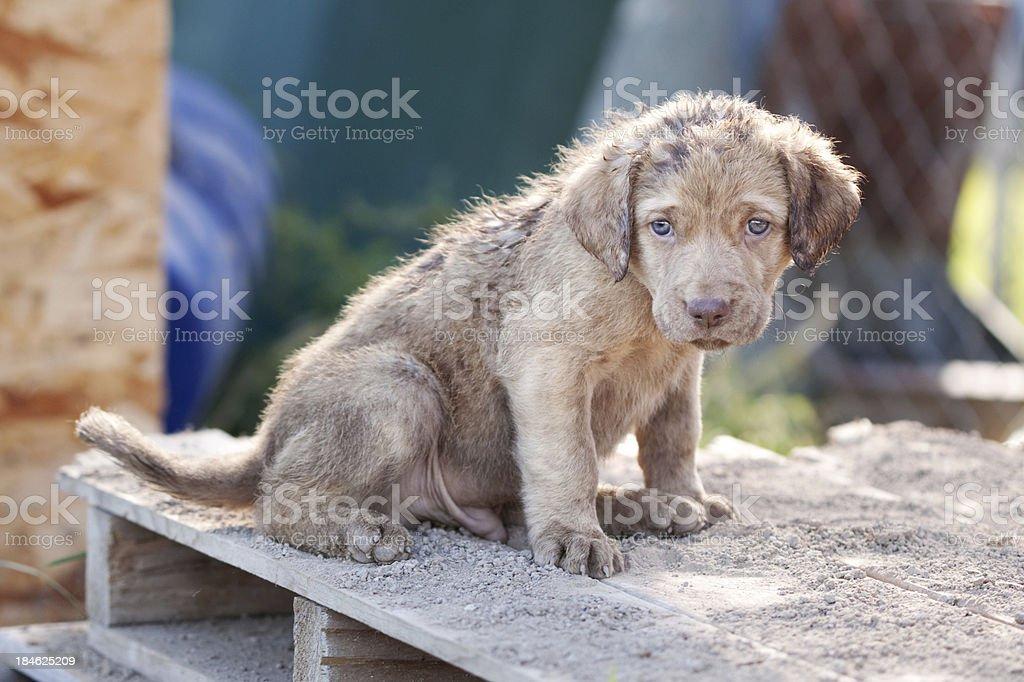 Chesapeake Bay Retriever Puppy stock photo