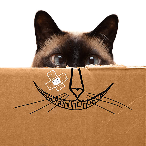 Cheshire Cat Cheshire Siamese Cat cheesy grin stock pictures, royalty-free photos & images