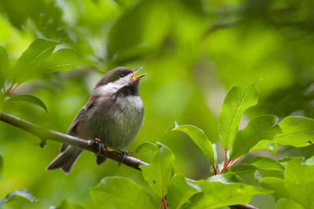 Chesnut-Backed Chickadee Perched on Branch Singing Chirping Mating Call Chesnut-Backed Chickadee Perched on Branch Singing Chirping Mating Call songbird stock pictures, royalty-free photos & images