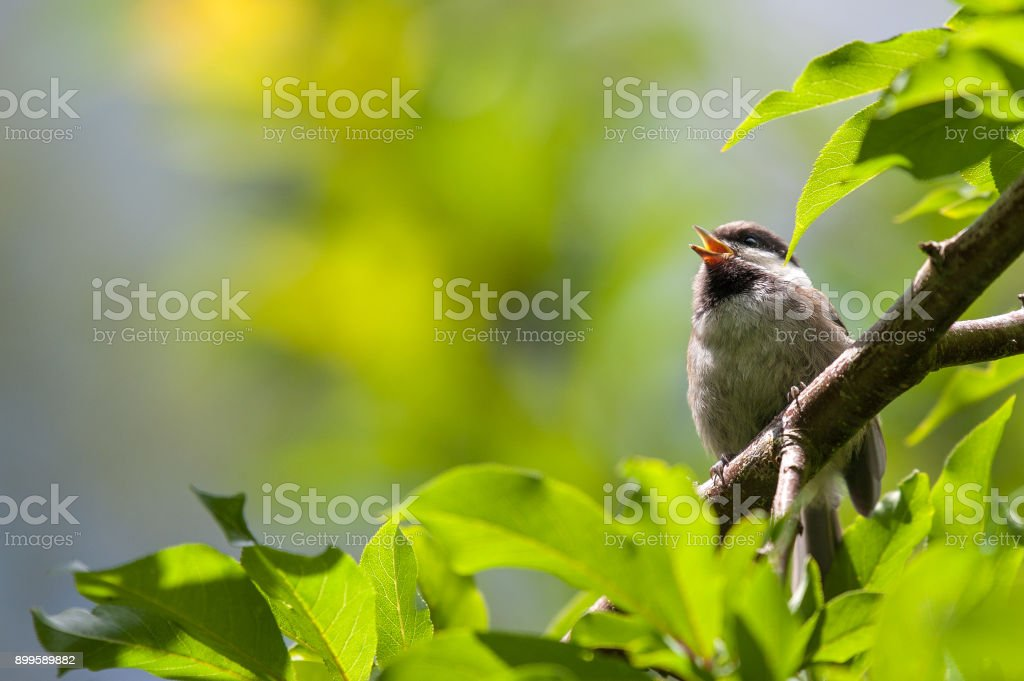 Chesnut-Backed Chickadee Perched on Branch Singing Chirping Mating Call stock photo