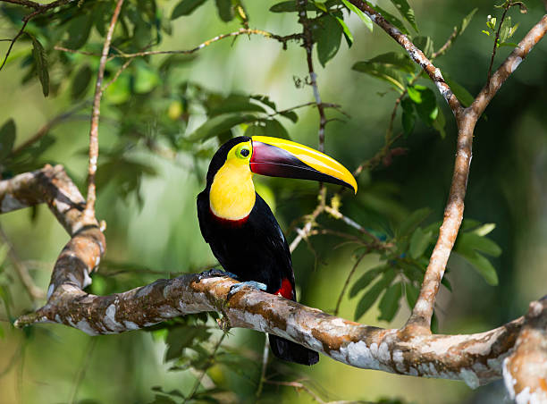 Chesnut-mandibled Toucan in the wild, Costa Rica stock photo