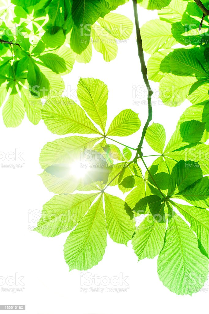 Chessnut spring leaves isolated on white royalty-free stock photo