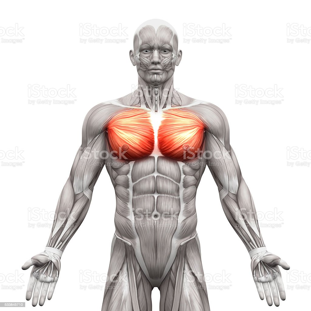 Chest Muscles Pectoralis Major And Minor Anatomy Muscles Stock Photo ...