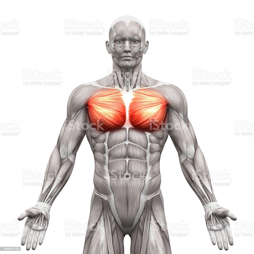 Brustmuskeln Brustmuskel Großen Und Kleinerenanatomie Muskeln Stock ...