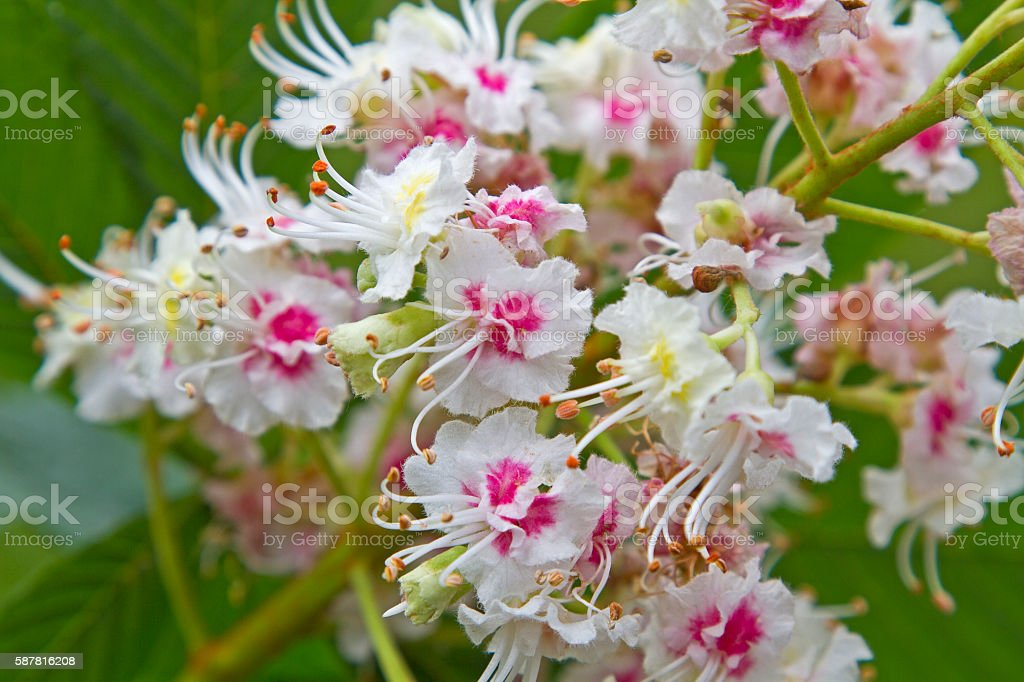 chestnut 9n spring stock photo