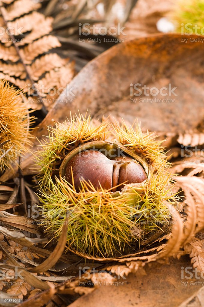 chestnut and autumn leaves on floor royalty-free stock photo