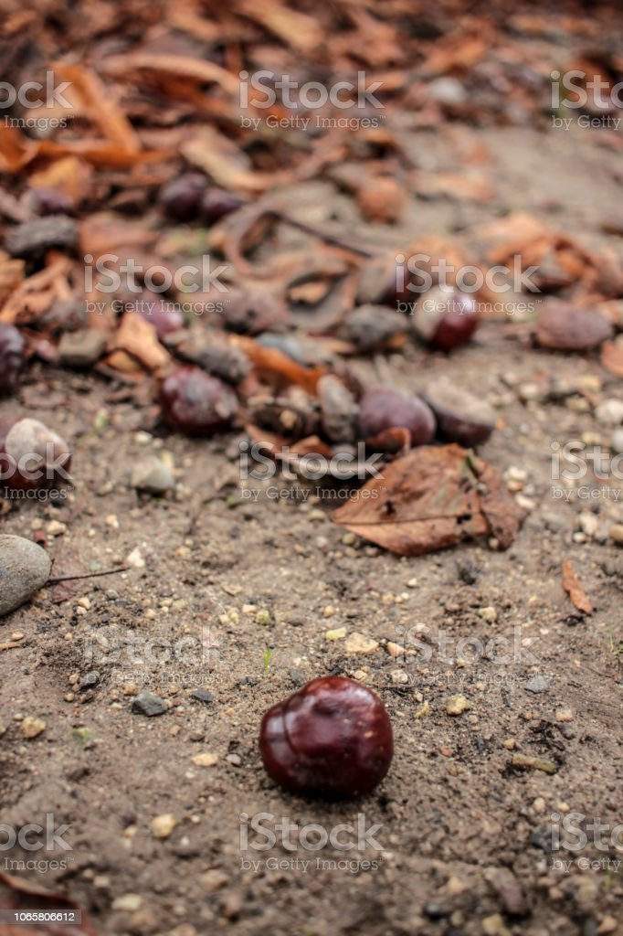 Chestnut and Leaves - foto stock