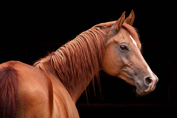 Chestnut Arabian Chestnut Arabian with black back ground arabian horse stock pictures, royalty-free photos & images