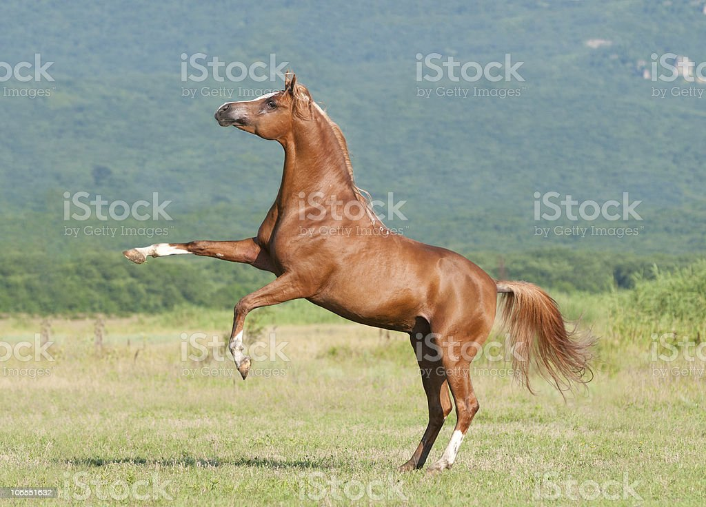 chestnut arabian stallion rearing stock photo