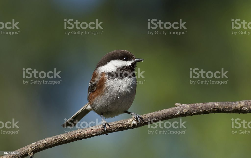Chestnut Backed Chickadee Perched on a Branch In Western Washington State the Chestnut Backed Chickadee (Poecile rufescens) is a year-round resident, frequently greeting visitors with their chick-a-dee-dee-dee call. The chickadee is bold, gregarious and not a bit shy of humans. This chickadee was photographed in Edgewood, Washington State, USA. Animal Stock Photo