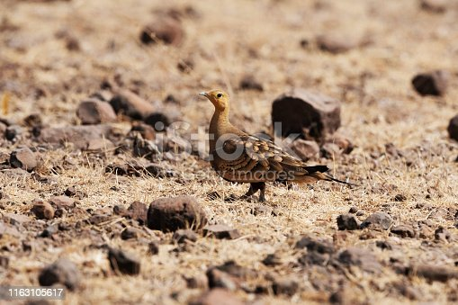 Chestnut bellied sandgrouse, Pterocles exustus, Mayureshwar Wildlife Sanctuary, Pune, Maharashtra, India