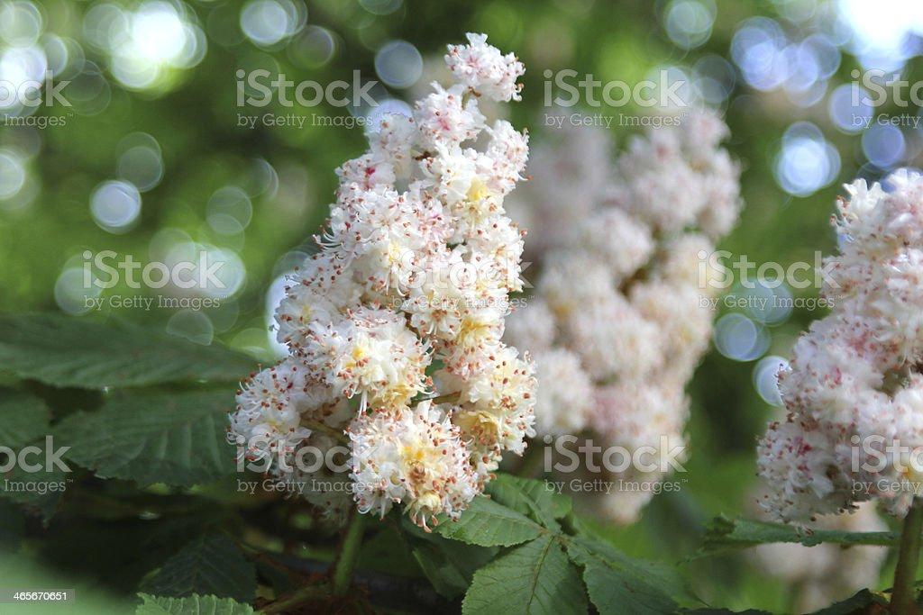 Chestnut blossom royalty-free stock photo
