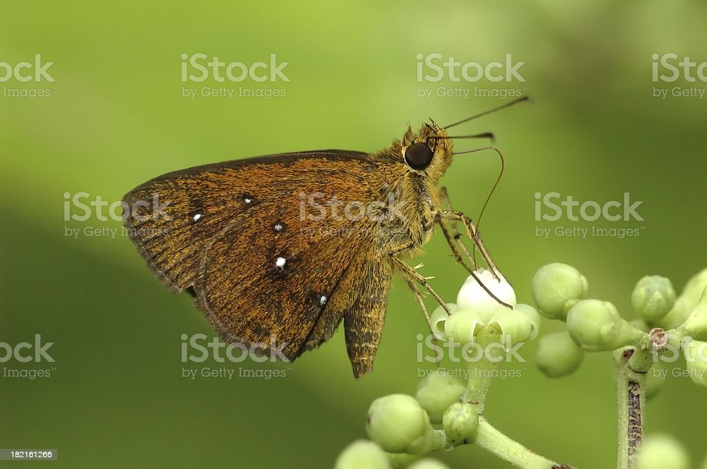 Chestnut Bob - Iambrix salsala (Singapore butterfly) stock photo