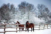 istock Chestnut brown horses in a cold winter pasture 636462266