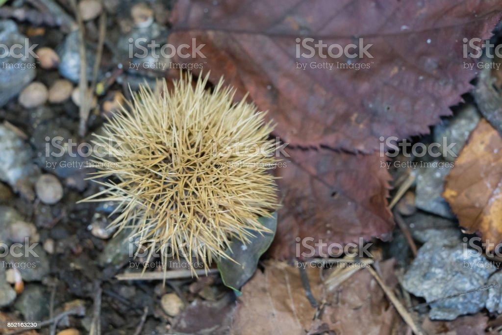 chestnut bur stock photo