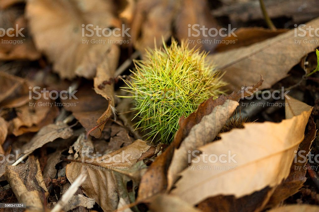 chestnut, chestnut tree, Forest macro, green leafs and moss, sunlight royalty-free stock photo