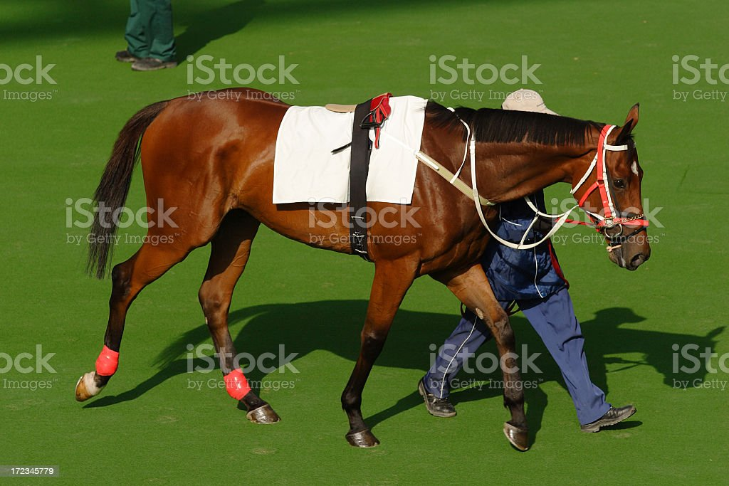 Chestnut colored horse being led on grass by a man stock photo