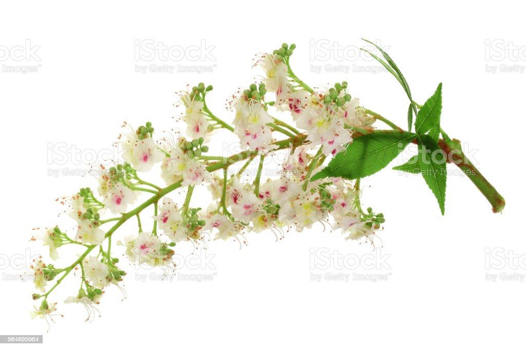 板栗花或七葉樹歐洲, 七葉樹樹, 葉子被隔絕在白色背景上 - 免版稅一個物體圖庫照片