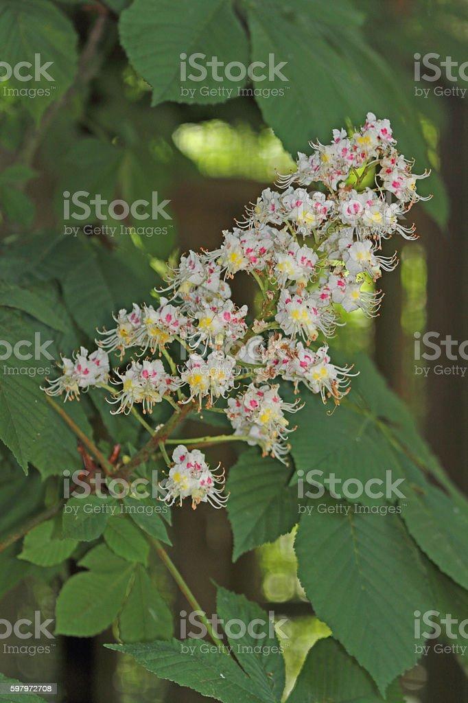 Kastanien-Blüten stock photo