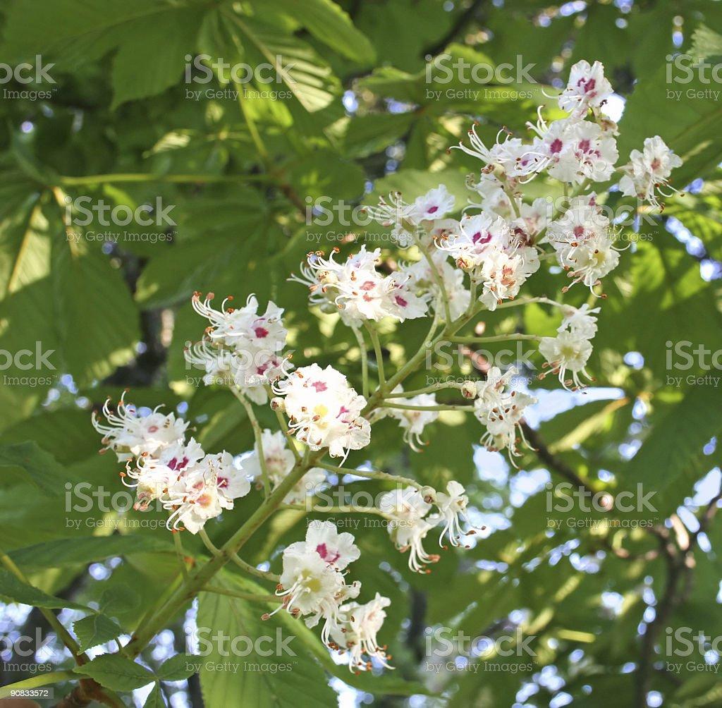 Chestnut Flowers stock photo