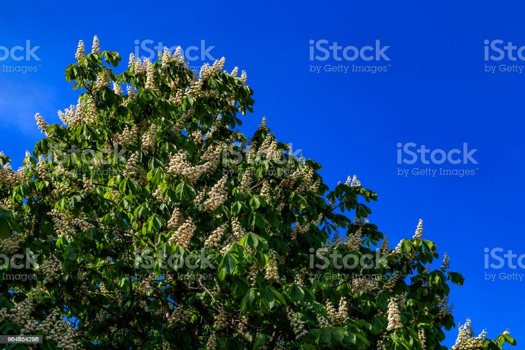 Chestnut flowers tree royalty-free stock photo