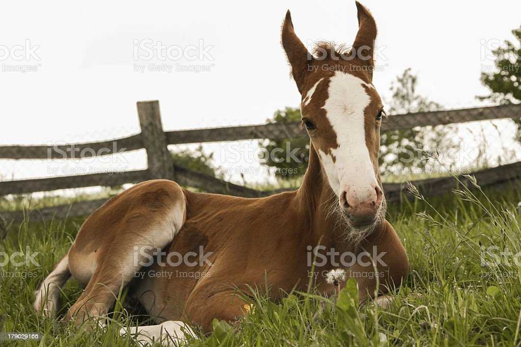 chestnut foal sleeping royalty-free stock photo