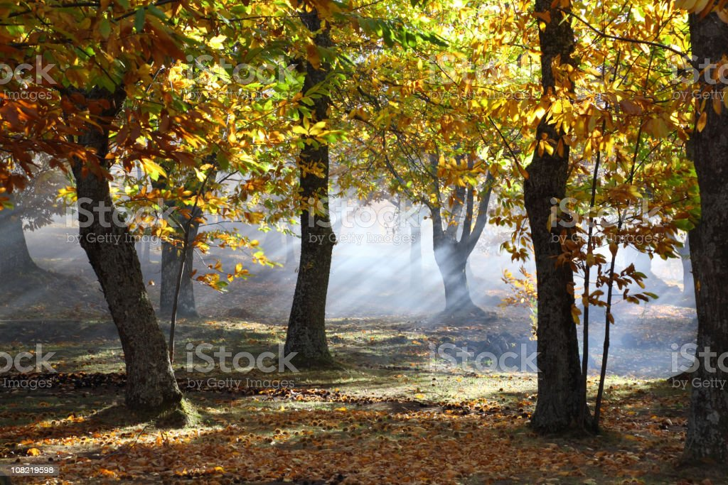 Chestnut Forest Fall Time stock photo