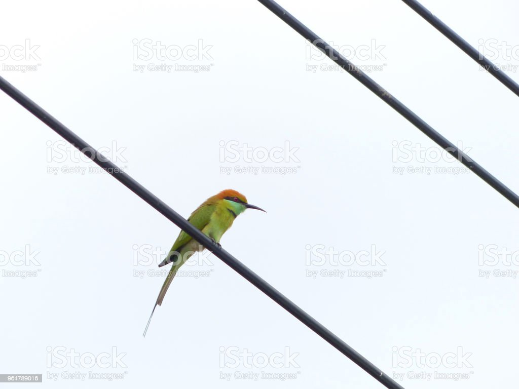 Chestnut Headed Bee Eater on power lines royalty-free stock photo