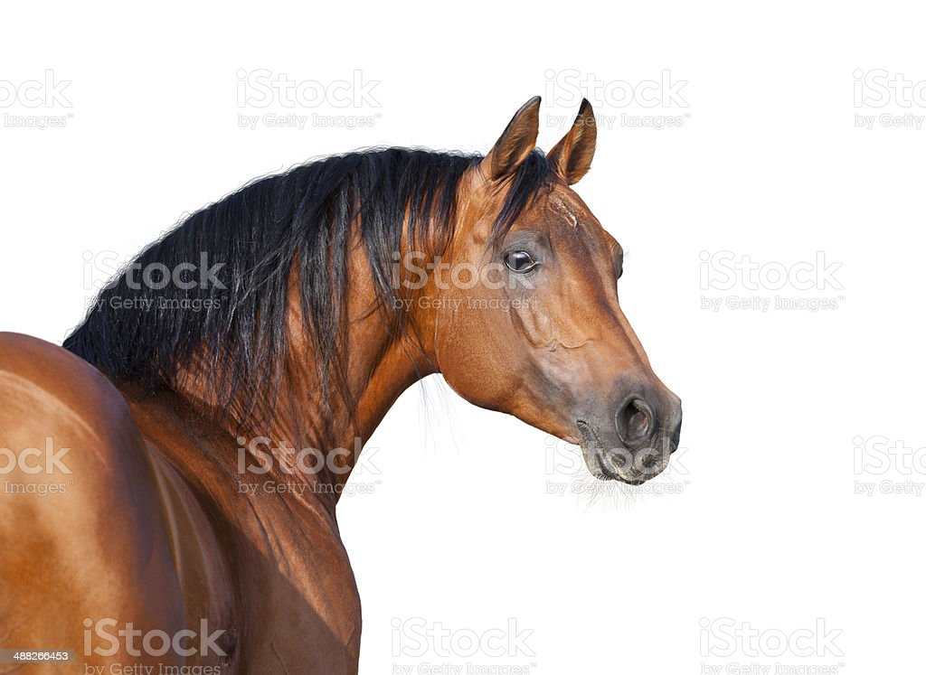 Chestnut horse head isolated on white background, Arabian horse. stock photo