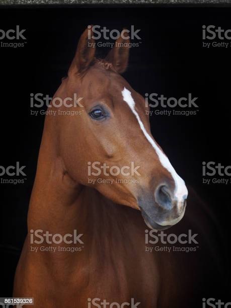Chestnut horse headshot picture id861539326?b=1&k=6&m=861539326&s=612x612&h=s8 bvfd 802 axmsbbr1jhejel ibvvkfoovtpyweuu=