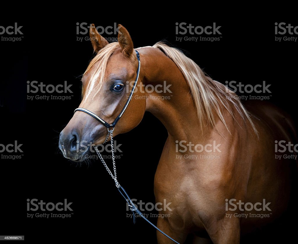 Chestnut horse isolated on black background. stock photo