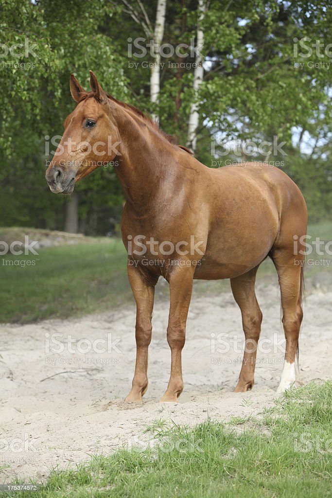 chestnut horse on the sand in hot summer royalty-free stock photo