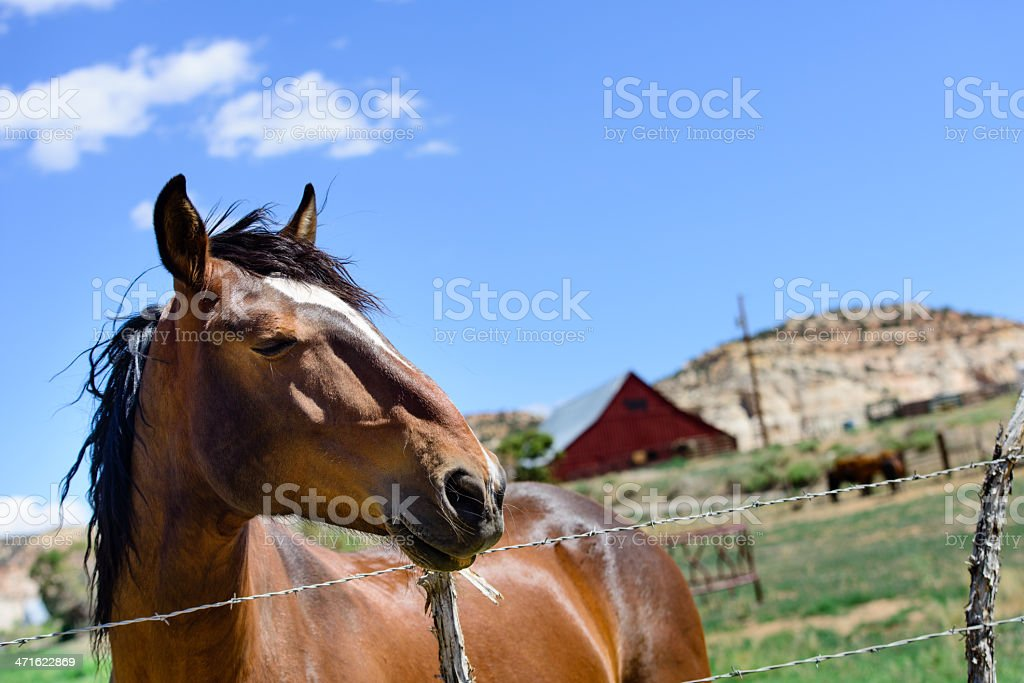Chestnut Horse royalty-free stock photo