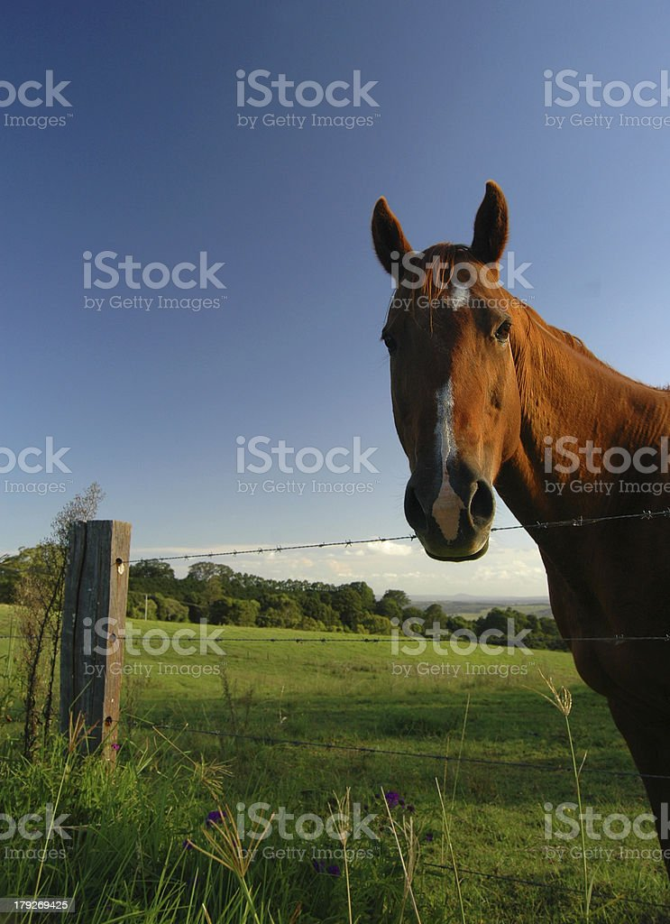 Chestnut horse portrait in a field royalty-free stock photo