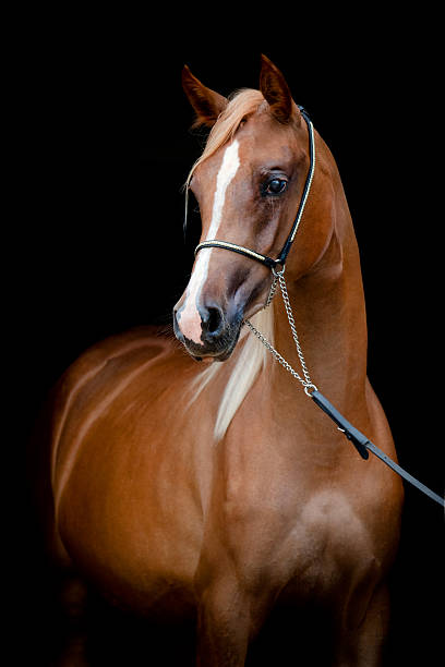 Chestnut horse portrait isolated on black background http://s019.radikal.ru/i600/1204/bb/5d41035f432c.jpg arabian horse stock pictures, royalty-free photos & images