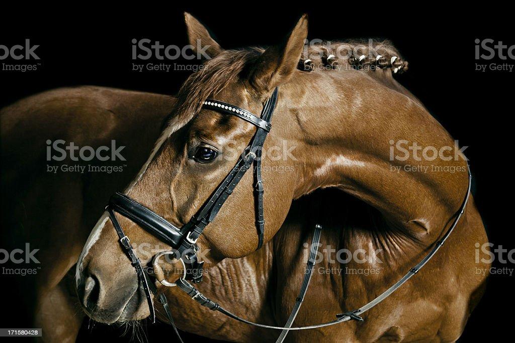 Kastanie Pferd Porträt – Foto