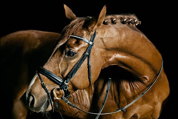 Chestnut Horse Portrait stock photo