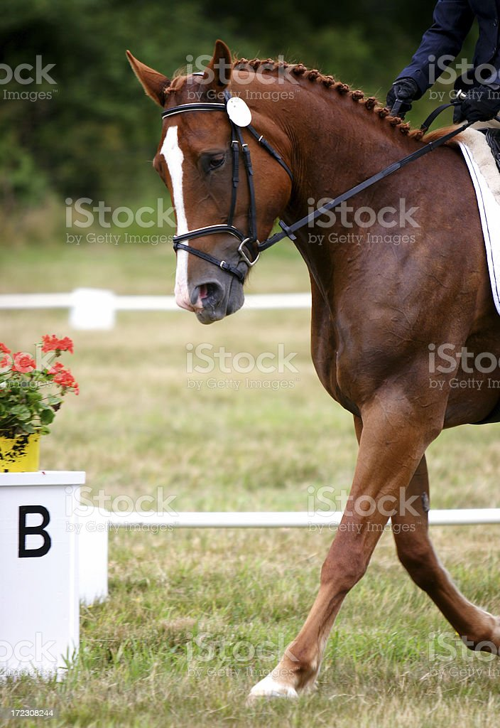 Chestnut Horse Ready for Dressage stock photo
