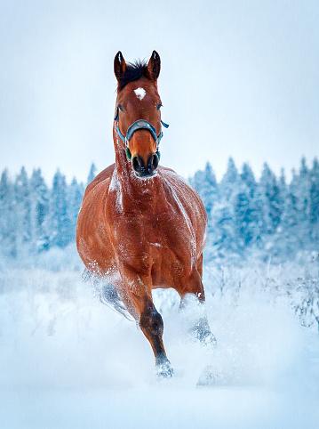 Chestnut Horse Run Gallop In Winter Stock Photo - Download ... - photo#17