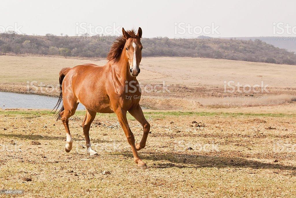 Chestnut horse running royalty-free stock photo