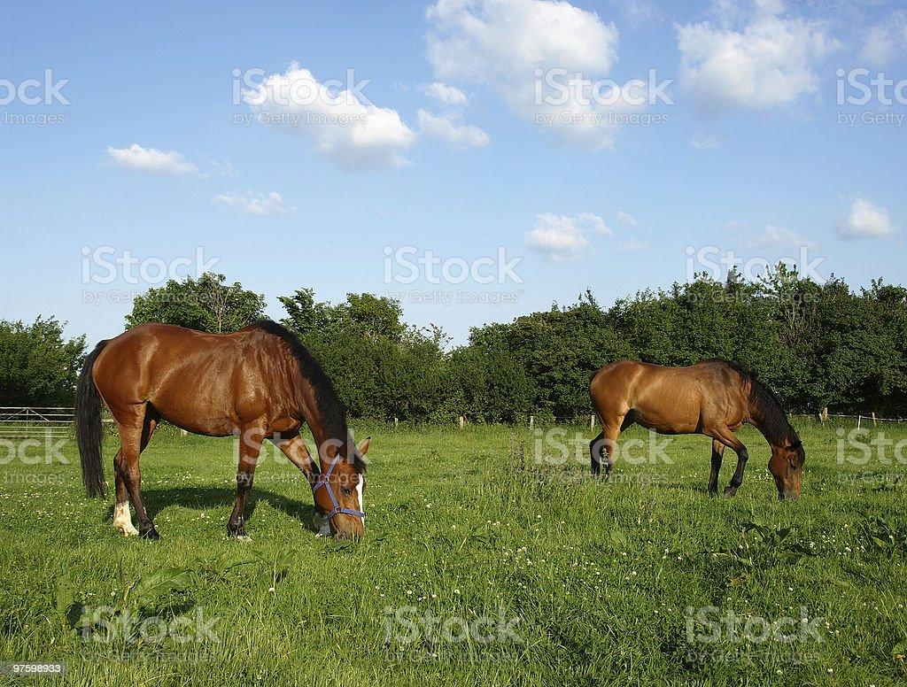 Châtain chevaux photo libre de droits