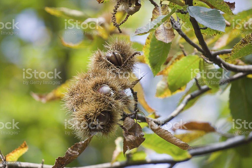 chestnut husk on tree stock photo
