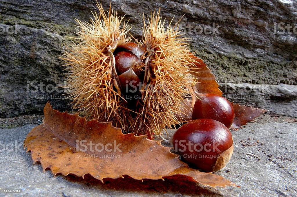 Chestnut husk royalty-free stock photo
