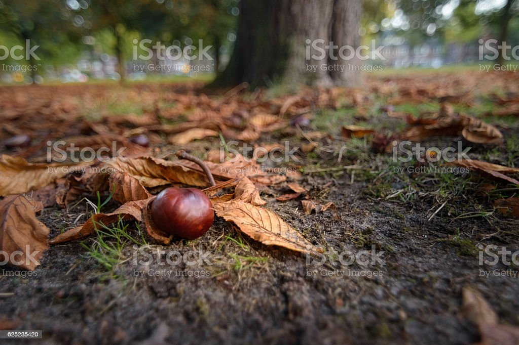 Chestnut in golden sunlight laying on forest floor foto