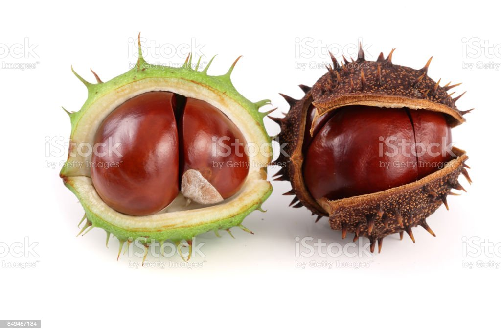 chestnut in the skin isolated on white background closeup stock photo